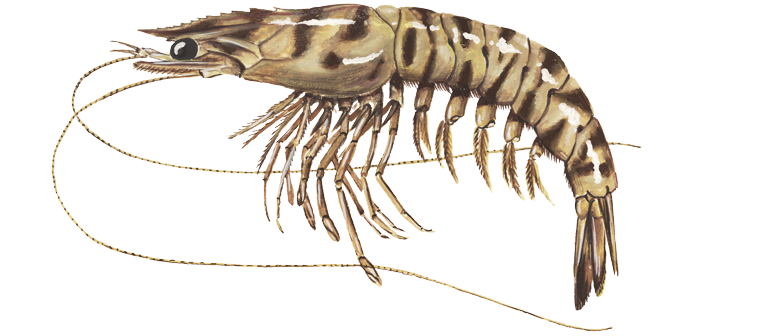The-caramote-prawn